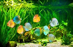 Aquarium Fische im Amazonas Artenbecken