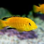 Aquarium Fische im Malawi Artenbecken