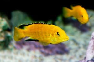 Labidochromis caeruleus oder Yellow