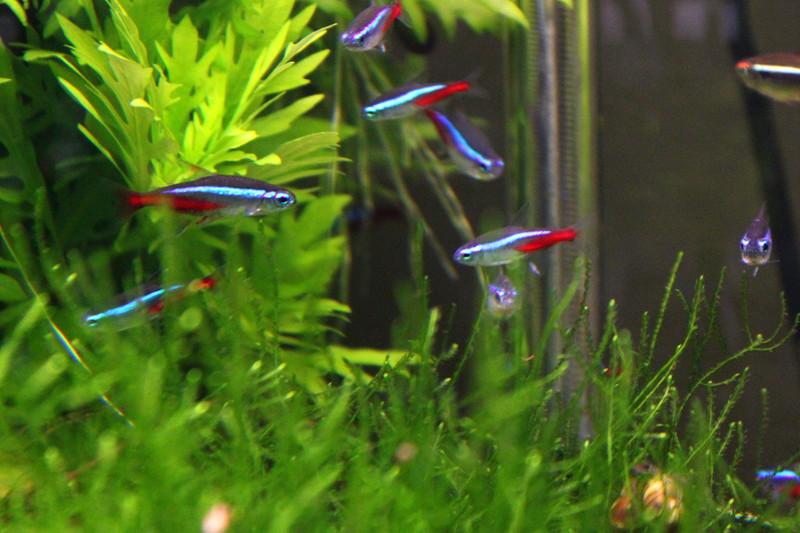 Neonsalmler aquarium fische for Aquarium fische im gartenteich