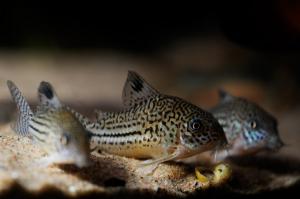 Panzerwelse im Aquarium