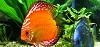 Diskusfische im Aquarium